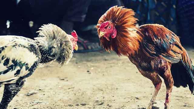 Cara Menang Judi S128 Sabung Ayam Taji